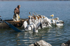 Pelicans and fishermen. Pelicans begging for food from fishermen as they raise their fishing nets, Lake of Castoria, Northern Greece royalty free stock photography