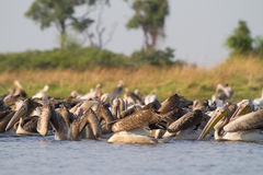 Pelicans fishing Royalty Free Stock Image