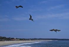 Pelicans fishing on beach of Puerto Escondido Stock Photos