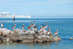Pelicans and Fishing Dock. Pelicans sitting on top of rocks at Fort DeSoto Park in Florida with Dock in the background royalty free stock photo