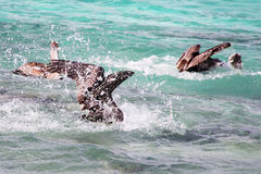 Pelicans fishing. At Laughing Bird Caye, Belize royalty free stock photography