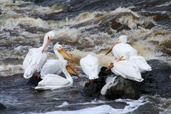 Pelicans Fishing at a River's End. A group of American white pelicans grooming and fishing in Rapid River in Clementson, MN where it flows into Rainy River Stock Photography