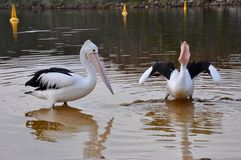 Pelicans Fishing: Western Australia stock images