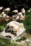 Pelicans and flamingos Royalty Free Stock Photography