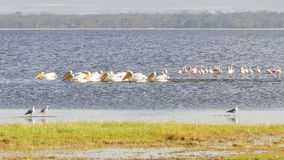 Pelicans and flamingos Stock Photography