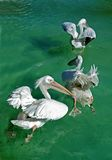 Pelicans Flapping Royalty Free Stock Photo