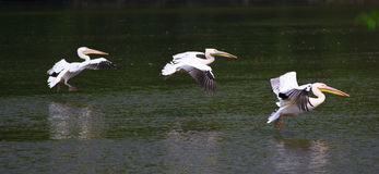 Pelicans Fleet Stock Photography