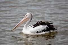Pelicans on the Fleurieu Peninsula Goolwa South Australia on 3rd April 2019. A Pelican on the Fleurieu Peninsula Goolwa South Australia on 3rd April 2019 royalty free stock image