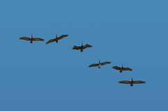 Pelicans in flight Royalty Free Stock Photo