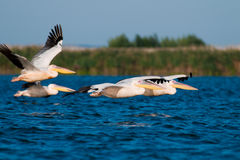 Pelicans in Flight Royalty Free Stock Image