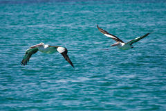 Pelicans in flight. Australian Pelicans in flight, Pelecanus conspicillatus, Australia royalty free stock images