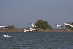 Pelicans in flight Royalty Free Stock Images