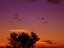 Pelicans in flight Stock Images