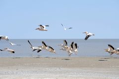 Pelicans in flight Royalty Free Stock Photos