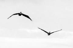 Pelicans in flight BW Stock Photos