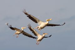 Pelicans in flight Stock Image