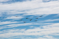 Pelicans in Flight. Flock of nesting pelicans flying in a cloudy blue sky over Penguin Island in Western Australia Royalty Free Stock Photos