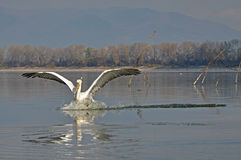 The Pelicans flight. Pelicans flying around and looking for food stock photo