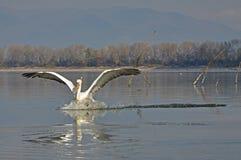 The Pelicans flight Stock Photo