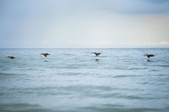 Pelicans in flight. Pelicans flying just above the ocean royalty free stock image