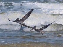Pelicans in Flight. Pelicans flying over New Smyrna Beach in Florida stock photos