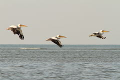 Pelicans in flight over the sea Stock Images