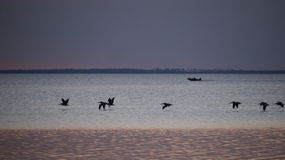 Pelicans in Flight Right After Sunset St. Josephs Bay Royalty Free Stock Photo