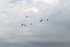 Pelicans in flight stock photo