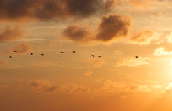 Pelicans in Flight at Sunset Royalty Free Stock Images