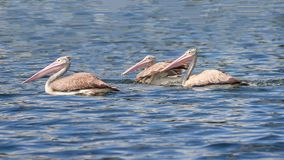 Pelicans floating. Pelicans family floating on water at minneriya tank, srilanka royalty free stock photo