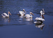 Pelicans. Floating on the lake Stock Photo
