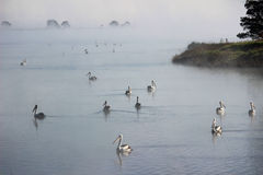 Pelicans floating between misty islands Royalty Free Stock Photos