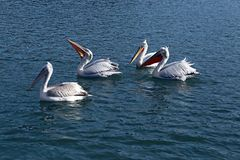 Pelicans. Floating in the water royalty free stock photo