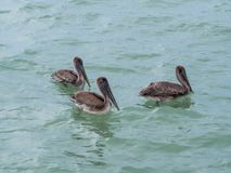 Pelicans floating on the water, catching fish, flying into the sea. Bird stock image