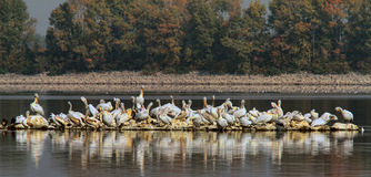 Pelicans. A flock of pelicans on a little island in the lake Royalty Free Stock Photography