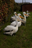 Pelicans. Flock of pelicans in the meadow stock photography