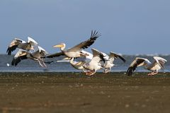 Pelicans flock taking flight from the beach Royalty Free Stock Photography