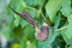 Pelicans Flower. (Aristolochia ringens Vahl royalty free stock images