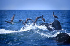 Pelicans fly above blue ocean waves Stock Image