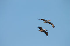 Pelicans fly through blue sky Royalty Free Stock Photography