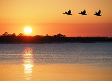 Pelicans Fly Over the Bay as the Sun Set Royalty Free Stock Photography