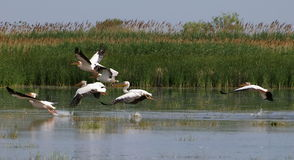 Pelicans flying Royalty Free Stock Photography