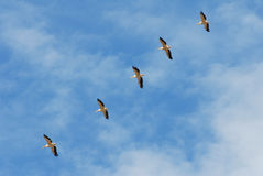 Pelicans flying. A flock of pelicans flying Stock Photos