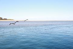 Pelicans flying above the sea. Blue water, blue sky, two pelicans are flying royalty free stock photography