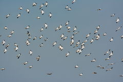Pelicans flying against the blue sky. (pelecanus onocrotalus Royalty Free Stock Photos