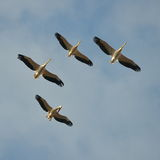 Pelicans flying against the blue sky (pelecanus onocrotalus) Royalty Free Stock Image