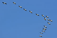 Pelicans flying against the sky Stock Images