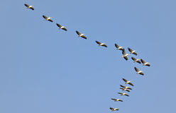 Pelicans flying against the sky Royalty Free Stock Images
