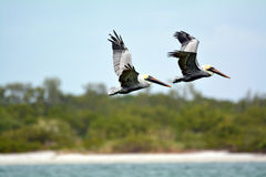 Pelicans flying by. In Cape Coral Florida stock images