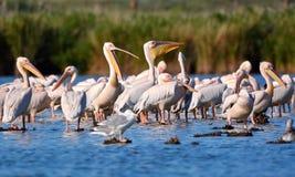 Pelicans in Danube Delta, Romania